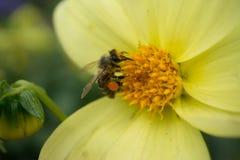 La abeja recoge el polen en la flor amarilla Imagen de archivo libre de regalías