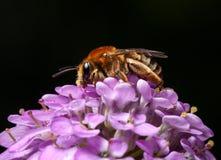 La abeja recoge el polen en la flor rosada Fotos de archivo libres de regalías