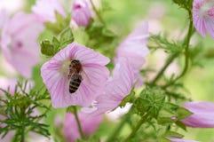 La abeja recoge el polen en la flor rosada Fotografía de archivo