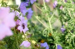La abeja recoge el polen en la flor rosada Imagen de archivo libre de regalías