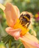 La abeja recoge el polen en la flor rosada Fotos de archivo
