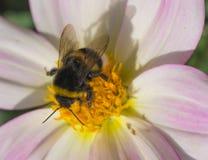 La abeja recoge el polen en la flor rosada Imagen de archivo