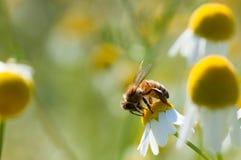 La abeja recoge el polen en las flores de la manzanilla Fotografía de archivo