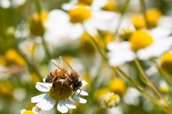 La abeja recoge el polen en las flores de la manzanilla Fotos de archivo libres de regalías