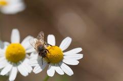 La abeja recoge el polen en las flores de la manzanilla Imagen de archivo libre de regalías