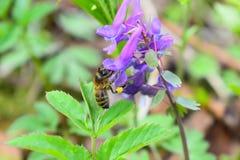 La abeja recoge el polen en las flores Flor púrpura en fondo verde de la hoja Foto de archivo libre de regalías