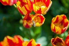 La abeja recoge el polen en tulipanes, macizo de flores con la floración de los tulipanes Fotografía de archivo