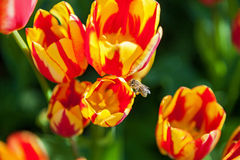 La abeja recoge el polen en tulipanes, macizo de flores con la floración de los tulipanes Imagen de archivo libre de regalías