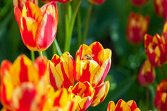La abeja recoge el polen en tulipanes, macizo de flores con la floración de los tulipanes Fotos de archivo