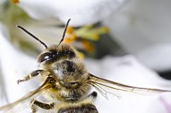 La abeja recoge el polen en un fondo blanco de cerezas en la primavera, la cámara, como un brote, los soportes en una abeja Imagenes de archivo