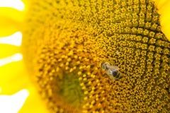 La abeja recoge el polen en un girasol Imágenes de archivo libres de regalías