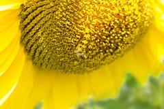 La abeja recoge el polen en un girasol floreciente Imagen de archivo