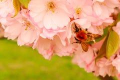La abeja recoge el polen en una flor Foto de archivo libre de regalías