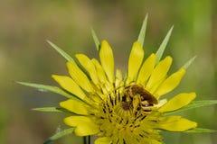la abeja recoge el polen en una flor amarilla Fotos de archivo libres de regalías