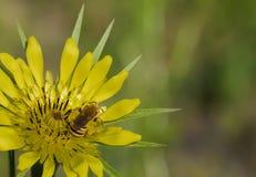 la abeja recoge el polen en una flor amarilla Foto de archivo libre de regalías
