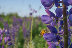 La abeja recoge el polen en una flor azul Fotos de archivo