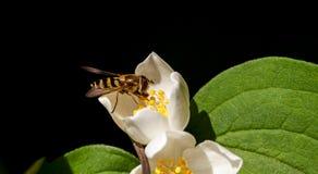 La abeja recoge el polen en una flor blanca Fotografía de archivo