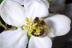 La abeja recoge el polen en una flor blanca de la cereza floreciente en la primavera, recogida una bolsa bajo pie Foto de archivo libre de regalías