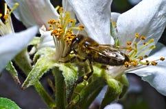 La abeja recoge el polen en una flor blanca de la cereza floreciente en la primavera, recogida una bolsa bajo pie Fotografía de archivo libre de regalías
