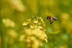 La abeja recoge el polen a partir de verano amarillo de la mostaza Foto de archivo