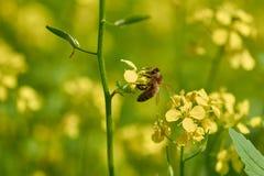 La abeja recoge el polen a partir de verano amarillo de la mostaza Foto de archivo libre de regalías