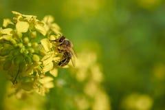 La abeja recoge el polen a partir de verano amarillo de la mostaza Fotografía de archivo libre de regalías