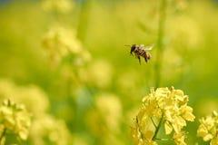 La abeja recoge el polen a partir de verano amarillo de la mostaza Fotos de archivo
