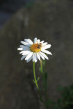 La abeja recoge el polen que se sienta en una manzanilla Imágenes de archivo libres de regalías