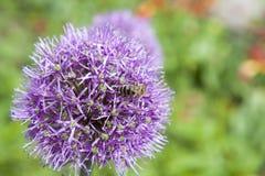 La abeja recoge el polen y el néctar de allium púrpura floreciente hermoso Fotos de archivo libres de regalías