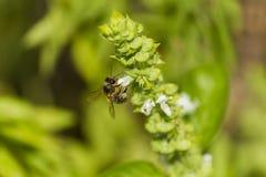 La abeja recoge el polen y el néctar blancos Fotos de archivo libres de regalías