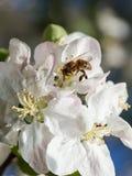La abeja recoge el polen y el néctar en manzano Foto de archivo