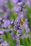 La abeja recoge la flor perfumada de la lavanda Fotos de archivo libres de regalías