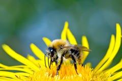 La abeja recoge la miel Foto de archivo libre de regalías