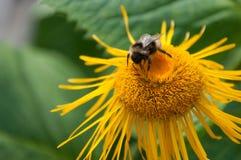 La abeja recoge la miel Imagen de archivo libre de regalías