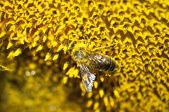 La abeja recoge la miel de las flores Imagen de archivo