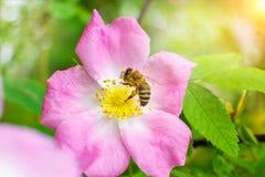 La abeja recoge la miel en una flor Fotografía de archivo