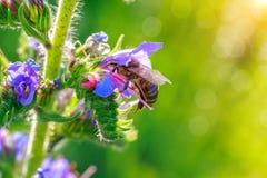 La abeja recoge la miel en una flor Fotos de archivo