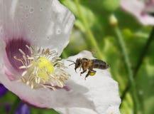 La abeja recoge la miel y el polen de la amapola Imagen de archivo libre de regalías