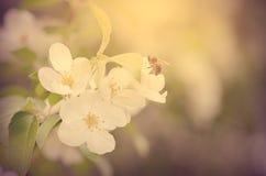 La abeja recoge la primavera temprana de la miel Imagen de archivo libre de regalías