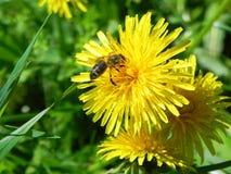 La abeja recoge la miel de un diente de león Imagen de archivo