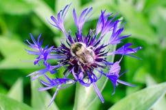 La abeja recoge la miel en una flor Imágenes de archivo libres de regalías