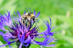 La abeja recoge la miel en una flor Fotografía de archivo libre de regalías