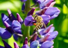 La abeja recoge la miel en una flor Foto de archivo