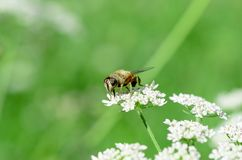 La abeja recoge la miel en una flor blanca en un campo en el summe Imagen de archivo libre de regalías