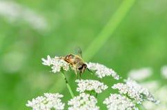 La abeja recoge la miel en una flor blanca en un campo en el summe Fotografía de archivo libre de regalías