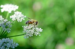 La abeja recoge la miel en una flor blanca en un campo en el summe Imágenes de archivo libres de regalías