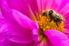 La abeja recoge la miel y el polen, con una flor grande Imágenes de archivo libres de regalías
