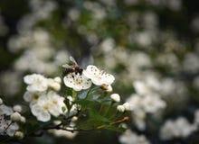 La abeja recoge un polen de una flor blanca Fotografía de archivo