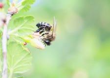 la abeja recolecta el néctar de ramas florecientes en primavera temprana Imagenes de archivo