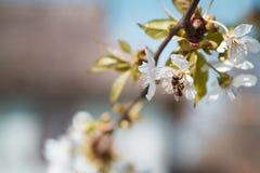 La abeja recolecta el néctar de una flor de la cereza con una silueta de una casa de campo Imágenes de archivo libres de regalías